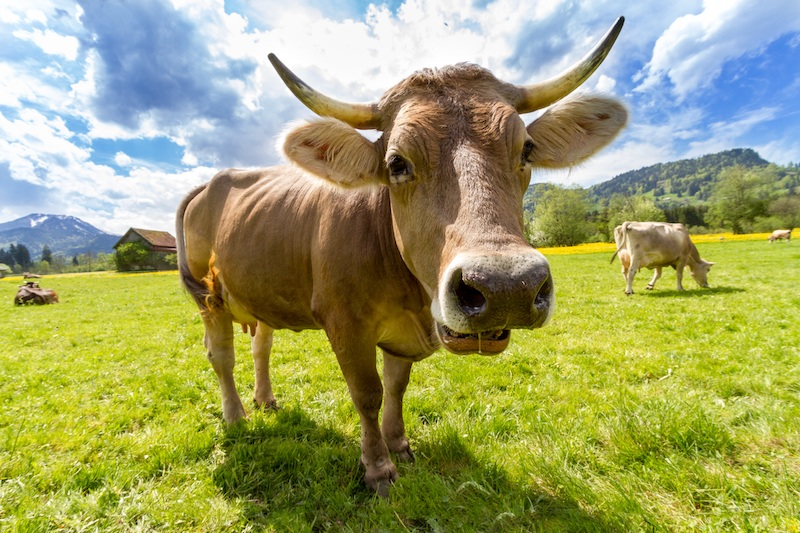 Grazing cow in pasture